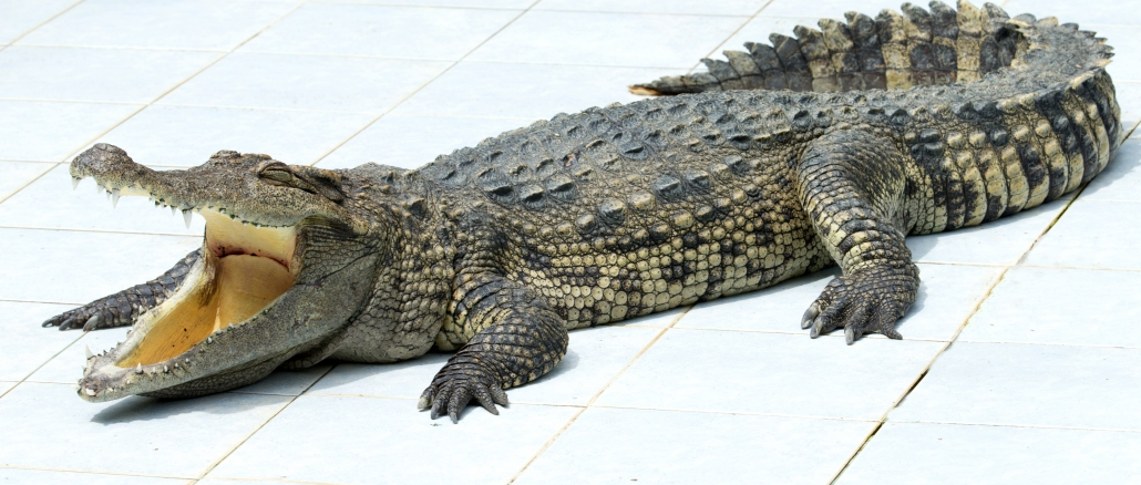 Krokodil Cape Coral